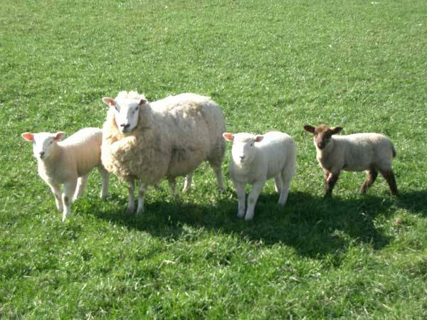 Q and Answer: Why does wool get shiny?