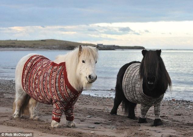 Shetland Ponies in the Shetlands wearing Shetland knits.