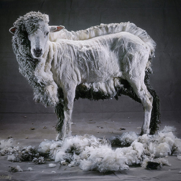 Half-Shorn Sheep, by photographer Cary Wolinsky, 1986